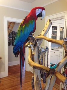 Big Mama the Green Winged Macaw